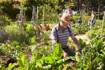 picture of man growing vegetables on allotment