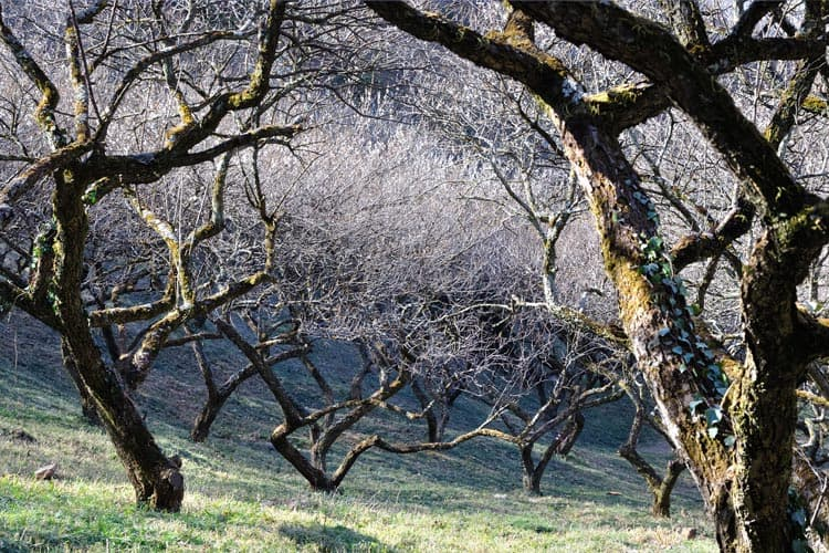 Pruning Plum Trees in Winter