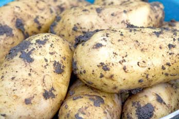 growing potatoes over winter featured