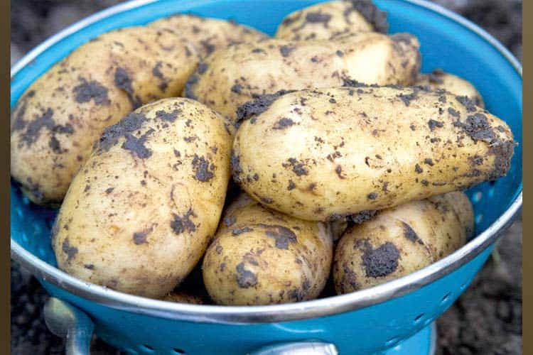 growing potatoes over winter