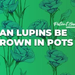 CAN LUPINS BE GROWN IN POTS