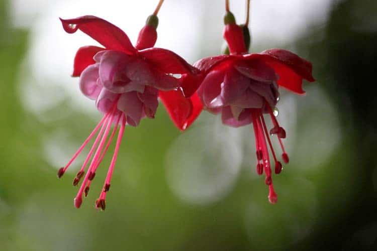 Close up of beautiful pink fuchsia