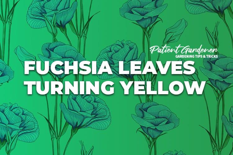 FUCHSIA LEAVES TURNING YELLOW