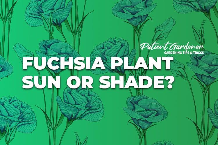 FUCHSIA PLANT SUN OR SHADE