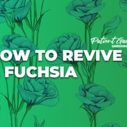 HOW TO REVIVE A FUCHSIA
