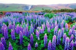 How long do lupins last
