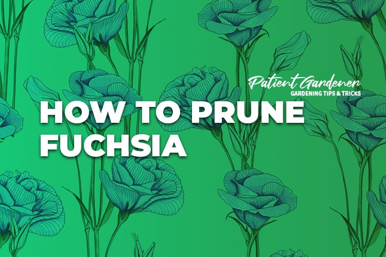 WHEN TO PRUNE FUCHSIA