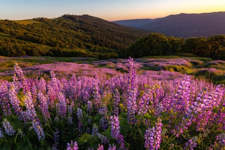 Wild lupins in california