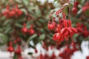 close up of beautiful Fuchsia