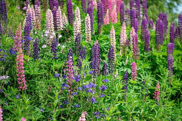 Lupins in full bloom