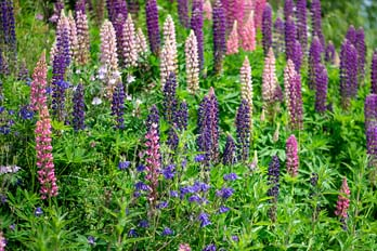 How to deadhead lupins