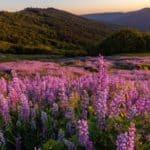 when do lupins flower