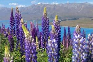 where do lupins originate from