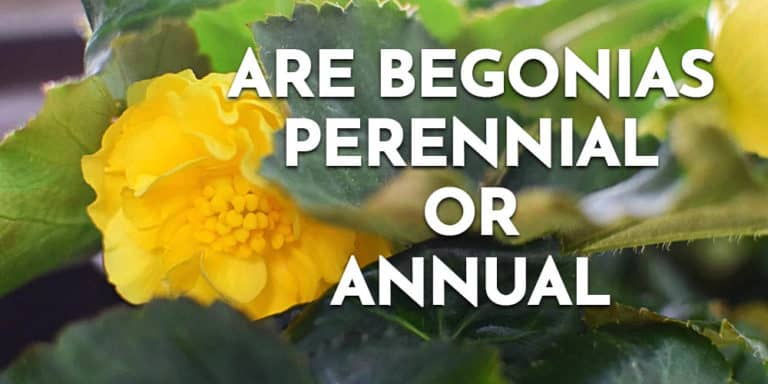 Are begonias perennial or annual