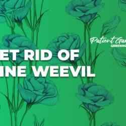 HOW TO GET RID OF VINE WEEVIL