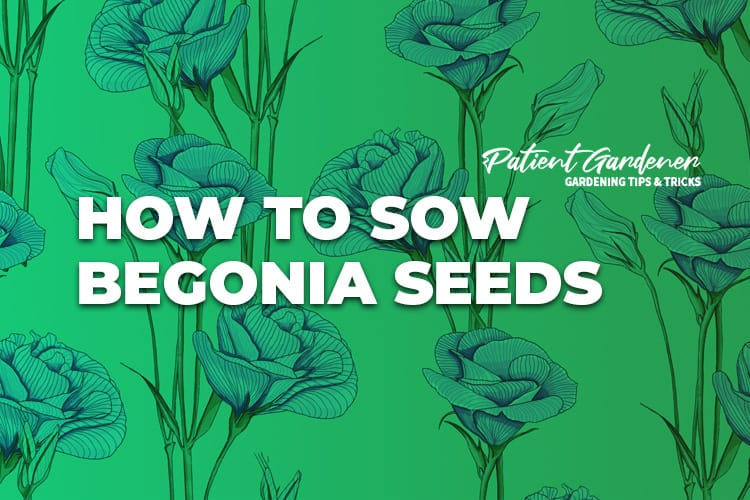 HOW TO SOW BEGONIA SEEDS