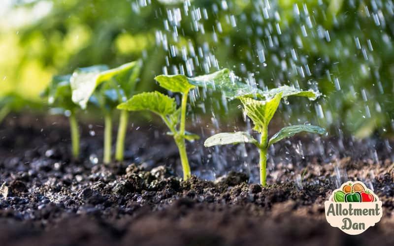 Cucumber Seedlings Being Watered
